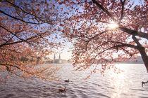 Kirschblüten an der Alster  von Jan Butzkies