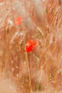 Mohnblüte im Getreidefeld von Peter Eggermann
