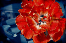 Scarlet Peony Flower by cinema4design