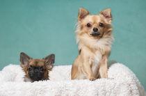 Chihuahuas / 1 von Heidi Bollich