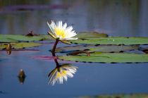 Water Lily in Okavango Delta von Rolf Lange