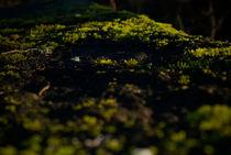 Moos am Stein in der Herbstdämmerung von Reinhard Kepplinger