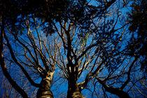 3 Bäume in tiefblauem Herbsthimmel von Reinhard Kepplinger