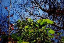 Efeu am Baum in tiefblauem Herbsthimmel von Reinhard Kepplinger