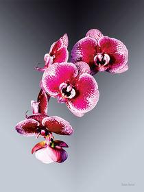Vivid Maroon Phalaenopsis Orchids von Susan Savad