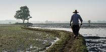 A Farmer driving a wheelbarrow at narrow pass away in rice farm  by Masoud Rezaeipoor
