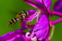 Wasp-ii-1-of-1