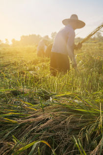 Workers Cutting Rice in the Paddy Field by Masoud Rezaeipoor