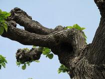 Poplar Tree by Erwin Nas