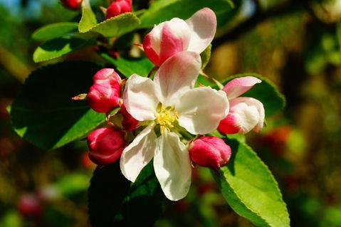 Apfelblueten