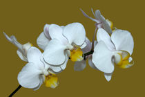 Orchidee Phalaenopsis - orchid phal by monarch