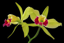 Orchidee - Cattleya Green Cherry - orchid by monarch