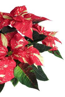Weihnachtsstern - Euphorbia pulcherrima - Poinsettia von monarch