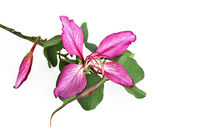 Orchideenbaumblüte - Bauhinia - orchid tree flower von monarch