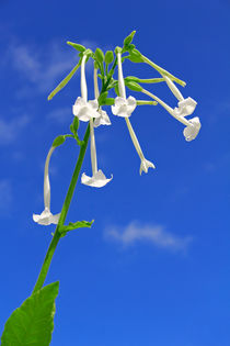 Ziertabak - Nicotiana sylvestris - tobacco by monarch