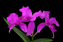 Orchidee Cattleya Skinneri - orchid by monarch