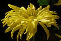 Yellow-chrysanthemum-0175