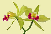 Orchidee Cattleya Green Cherry - orchid von monarch