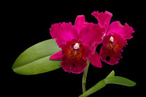 Cattleya Orchidee - cattleya orchid by monarch