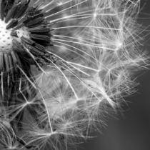 Pusteblume in schwarz-weiß von Franziska Mohr