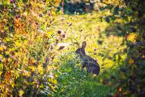 Wild Rabbit von Vicki Field