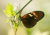 Black and red butterfly on the leaf by Jarek Blaminsky