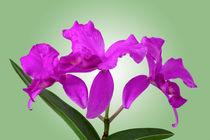 Orchidee Cattleya Skinneri - cattleya orchid skinneri von monarch