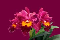 Orchidee BLC San Yang Ruby - blc orchid
