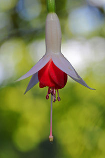 Fuchsienblüte 2 by Bernhard Kaiser