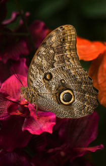 Blue Morpho butterfly on dark pink flower by Jarek Blaminsky