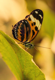 Orange and black butterfly on the green leaf by Jarek Blaminsky