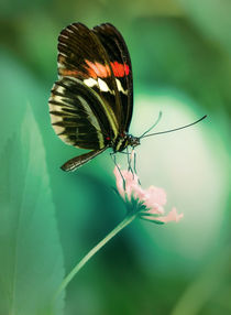 Red and black butterfly on white flower by Jarek Blaminsky