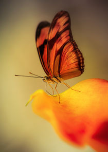 Dryas iulia butterfly  sitting on yellow calla lily  flower by Jarek Blaminsky
