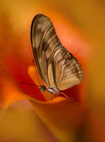 Dryas iulia butterfly  sitting on orange calla lily flower by Jarek Blaminsky