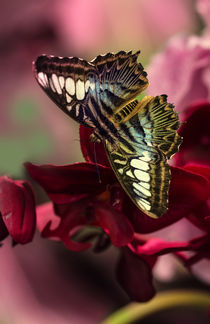Big butterfly on purple flowers von Jarek Blaminsky