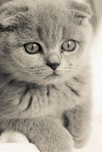 Scottish Fold Puppie von mroppx