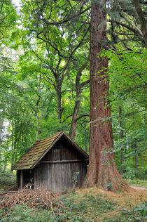 Hütte und Mammutbaum im Naturpark Schönbuch von Matthias Hauser