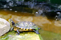 Yellow Bellied Slider Turtle by Rod Johnson