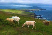 Dingle sheep von Andrew Michael