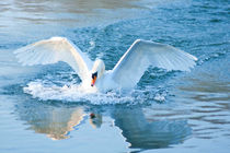 Swan landing von Andrew Michael