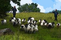 Sheep herders von Andrew Michael