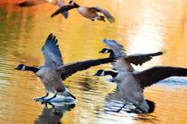 Canada-geese-landingintenseoil
