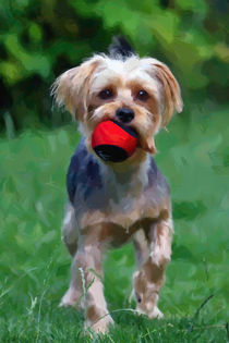 Yorkshire terrier at play by Andrew Michael
