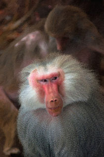 Male Hamadryas Baboon by Andrew Michael
