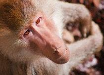 Best-baboon-4oil