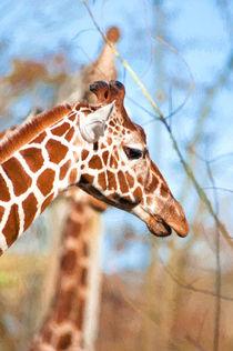 Giraffe by Andrew Michael