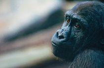 Melancholy-gorillaoil
