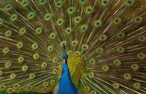 Peacock-2-air