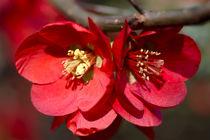 Zierquittenblüten by Bernhard Kaiser