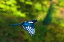 Magpie in flight von Andrew Michael